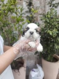 Shih Tzu Lindo, o mais belo dos filhotes hoje com pedigree e vacinado.