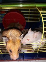 Hamster sírio com 1 mês várias cores super dóceis