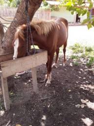 Vendo uma belo cavalo no tabocal