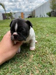 Título do anúncio: Bulldog Francês (macho)