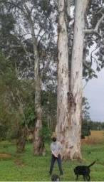 Título do anúncio: Vendo mato de eucalipto vermelho,R$220mil