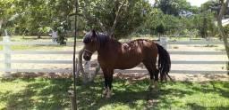 Égua raça Criola com registro