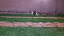 Beagle fêmea a procura de macho puro para cruzar
