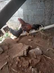 Vende-se um casal de galinha com 5 pintinhos