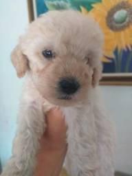 Poodle fêmea: 200,00 Macho:150,00