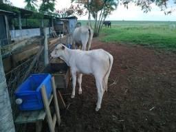 Vaca e bezerra
