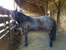 Cavalo Mouro