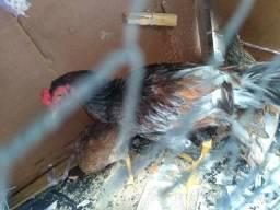 Vendo 6 Cabeda de galinha