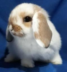 Míni coelhos