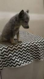 Vendo filhotes di cachorro blue heeler
