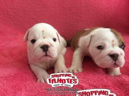 Bulldog Inglês branco/malhado/vermelho/red brindle 119.72727-778