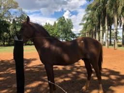 Cavalo MANGA LARGA marchador sem registro