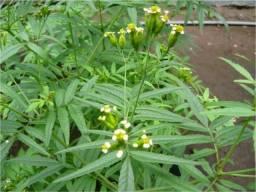 Huacatay - erva peruana - 200 sementes