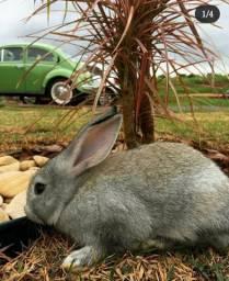 Vende-se filhotes/adultos de coelhos