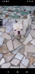 Título do anúncio: Vendo Bulldog francês exótico