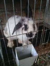 Coelha adulta porte pequeno/médio