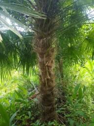 Título do anúncio: Mudas palmeira Buriti