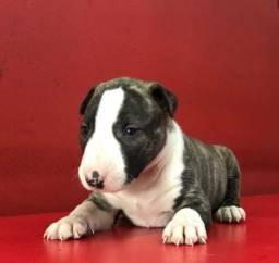 Título do anúncio: Bull Terrier baby