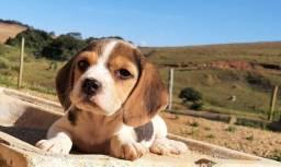 Título do anúncio: Beagle Filhotes Macho e Fêmea
