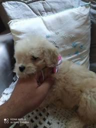 Título do anúncio: Poodle fêmea média com toy pedigree 500 12x