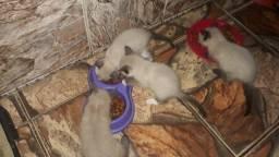 Título do anúncio: Doação de filhotes de gatos sianes(todos com olhos claros) lindos