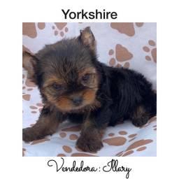 York Shire com pedigree e microchip até 18x