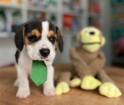 Título do anúncio: Gracinha de beagle disponível
