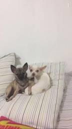 Chihuahua - Filhotes Fêmeas