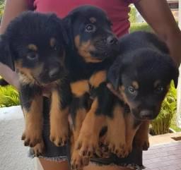 Vendo filhotes de rottweiler!!