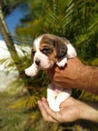 Lindo Filhotes de Beagle, Bicolor e Tricolor, com Procedência