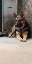 Procura se Cachorro Macho Raça Pastor alemão para cruzar
