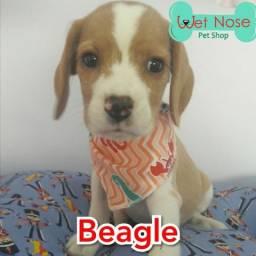 Beagle Macho Bicolor - Neste Feriado na Wet Nose