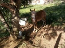 Cavalo macho