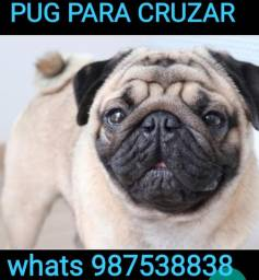 Pug procura namorada tbm Tenho bulldog e spitz