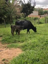 Vende-se vacas novilha e vacas de leites