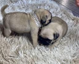 Pequeninos bebês Pug Machos e Fêmeas