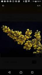 Título do anúncio: Orquidea oncidium pumilum