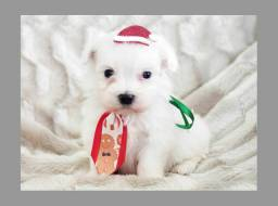 Um lindo filhote de maltês disponível no Namu Pet shop, fotos verdadeiras!
