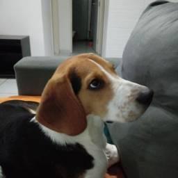 Título do anúncio: Beagle em Olinda para procriar