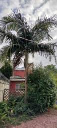 Título do anúncio: Palmeira Imperial