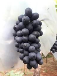 Uva sem sementes COLHIDA ANTES DA ENTREGA