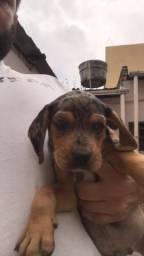 Doacao beagle leia