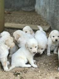 Filhotes de Golden