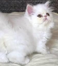 Belissimo Gato persa macho branco algodão com 88 dias super extremado um dengo,lindo.