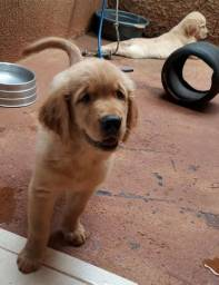 Golden Retriever Machos 700