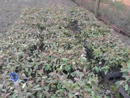 Mudas Frutíferas e Florestais