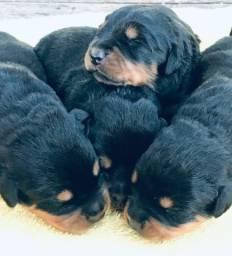 Filhote de Rottweiler disponível