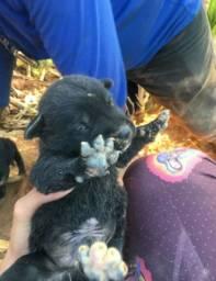 Filhotes de labrador 3 meses