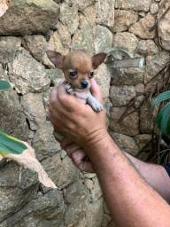 Título do anúncio: Chihuahua Baby