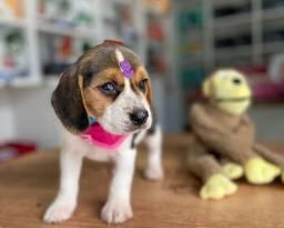 Título do anúncio: Beagle fêmea disponível